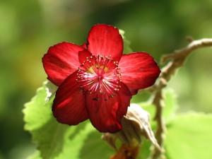 rot blühende Schönmalve