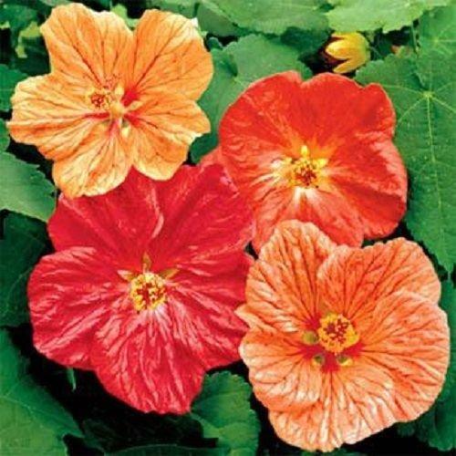 15 Abutilon Blumensamen