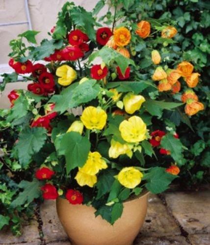 Abutilon Bellvue Mix Schönmalve 20 frische Samen