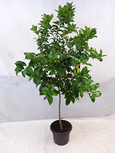 Echter Zitronenbaum Eureka 200 cm