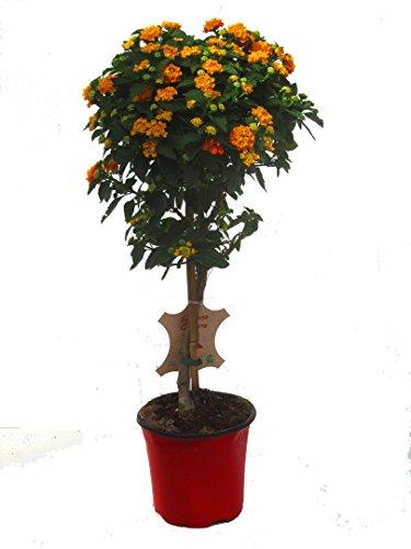 Lantana Camara-Wandelröschen Stämmchen 75 cm hoch