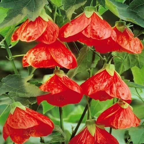 Schönmalve Blumensamen