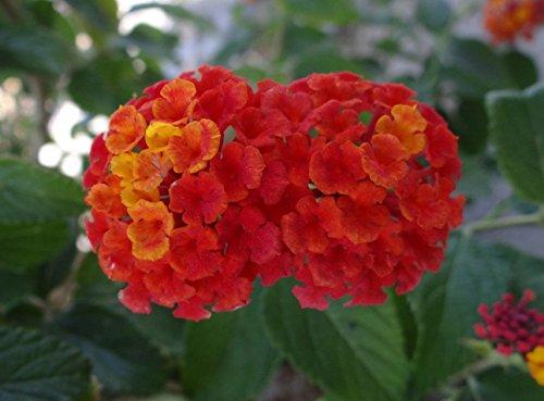 Wandelröschen, 50 Samen Mischfarben