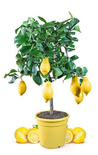 Zitronenbaum Mezzo 80 bis 100 cm im 8,5 Liter Topf